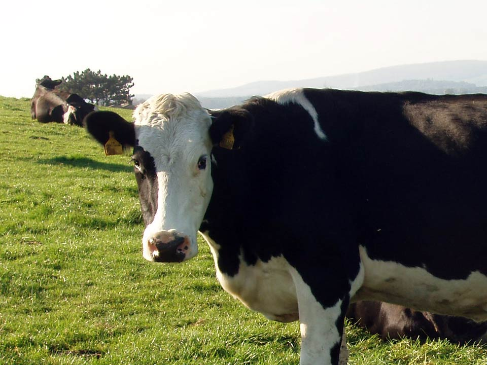 Dairy cow at grass