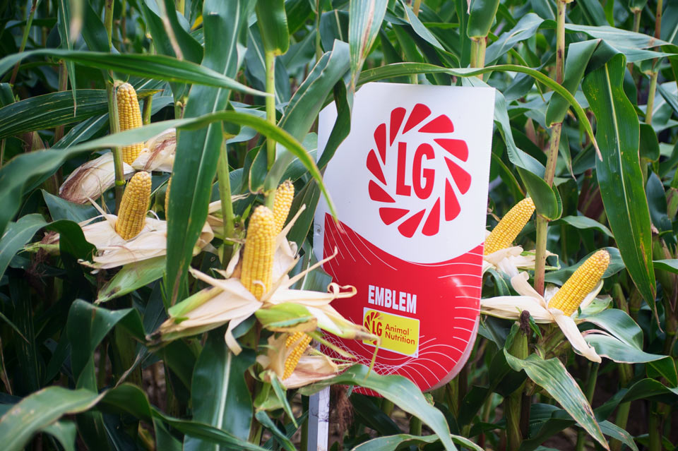 Emblem Maize