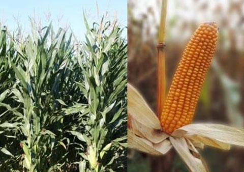 Spyci CS Maize Seeds - Mas Seeds