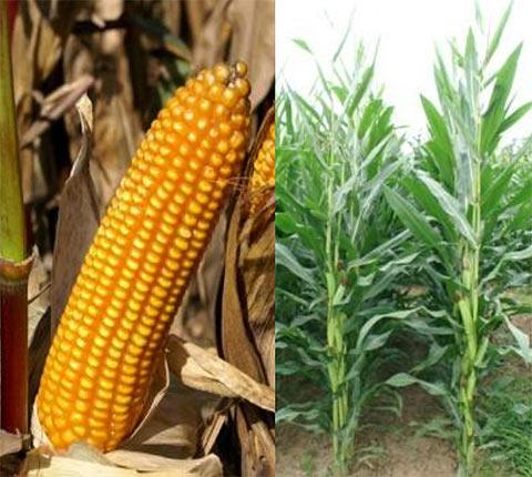 Belami CS Maize Seeds - Mas Seeds