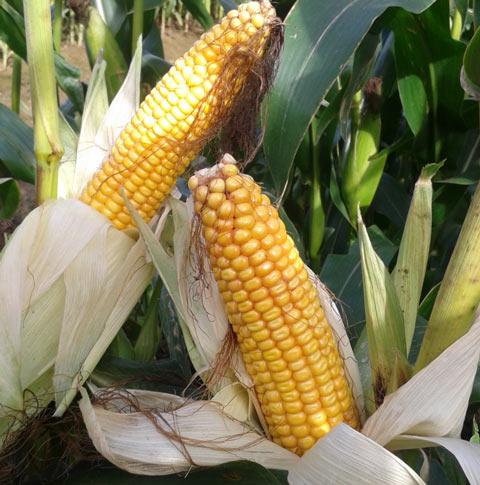 Mas 09p Maize Seeds - Mas Seeds
