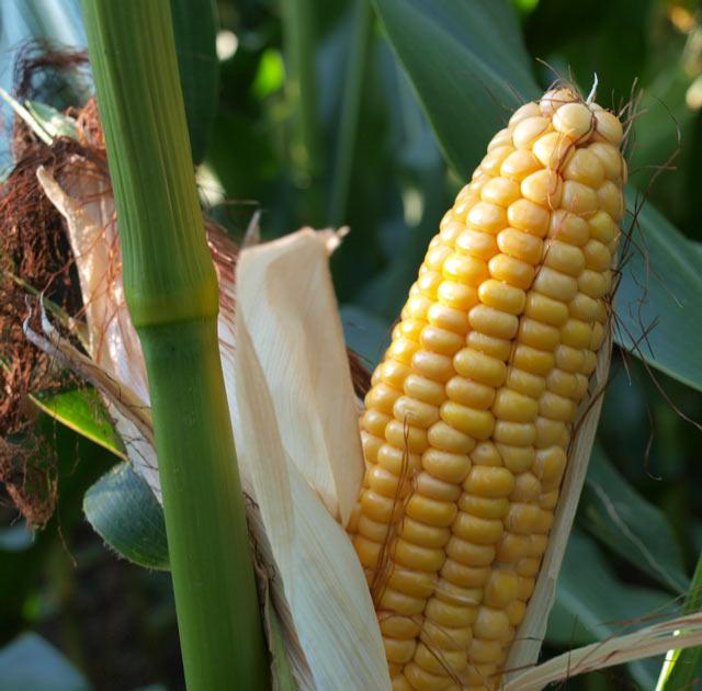 Maryjane Maize Seeds - Mas Seeds