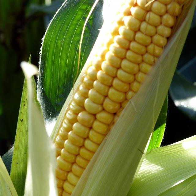 Mas 06.T Maize Seeds - Mas Seeds