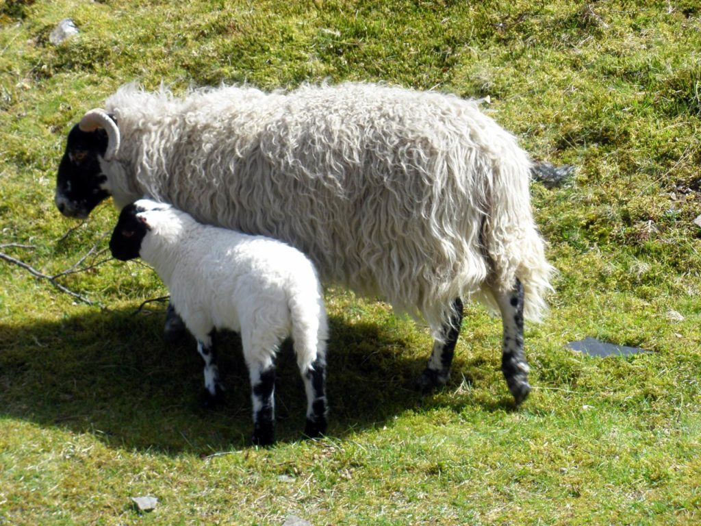 Sheep, ewe with lamb