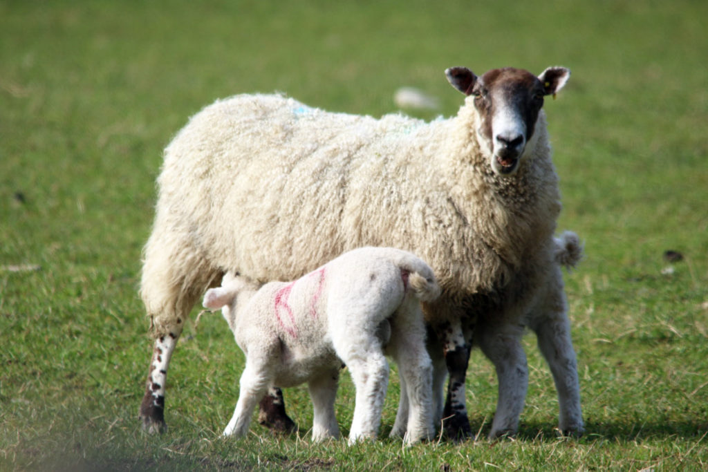 Sheep, ewe with lambs